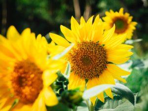sunflowers green key village fall decor